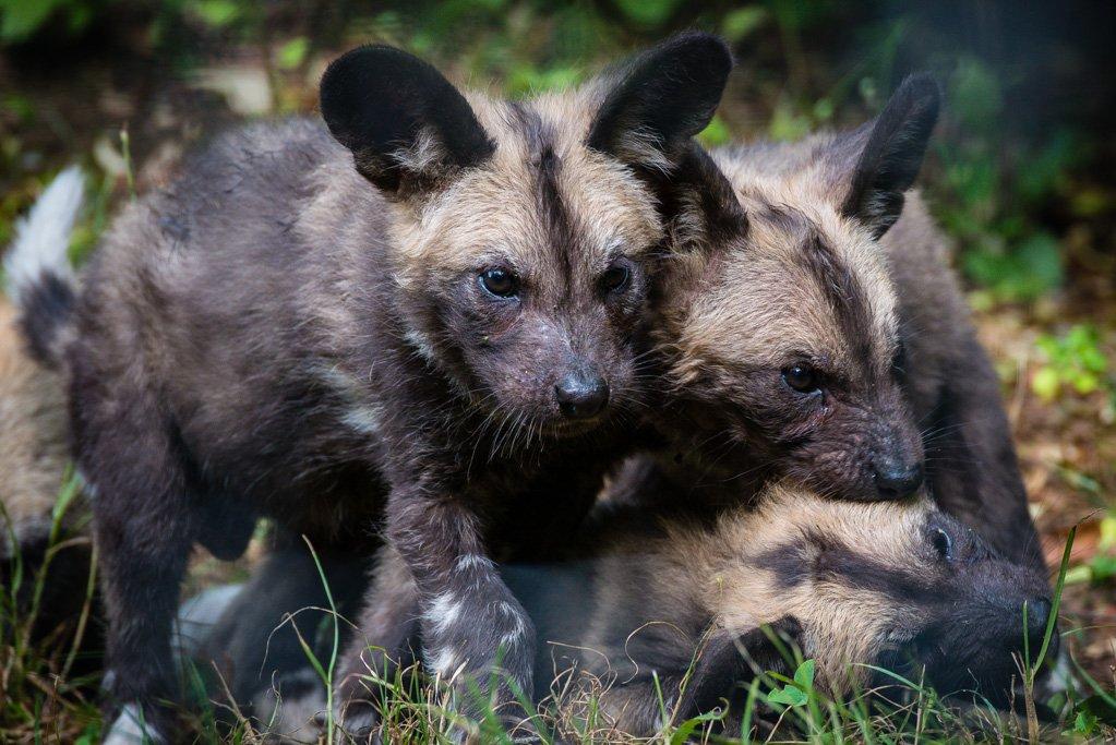 Drei junge afrikanische Wildhunde