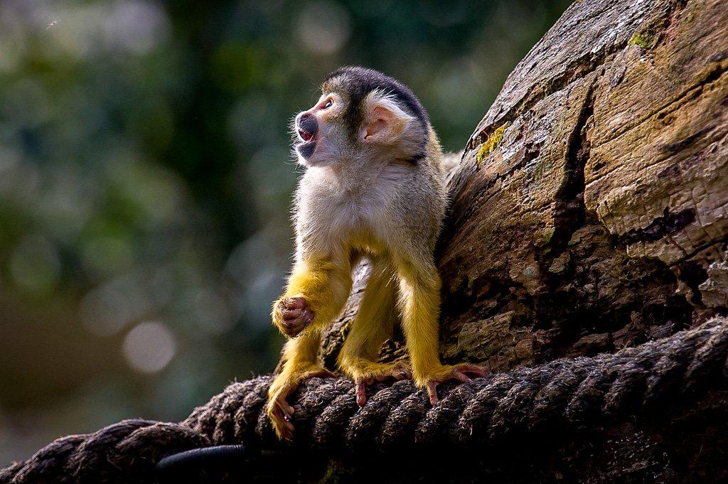 Totenkopfäffchen im Pantanal (Zoo Zürich)