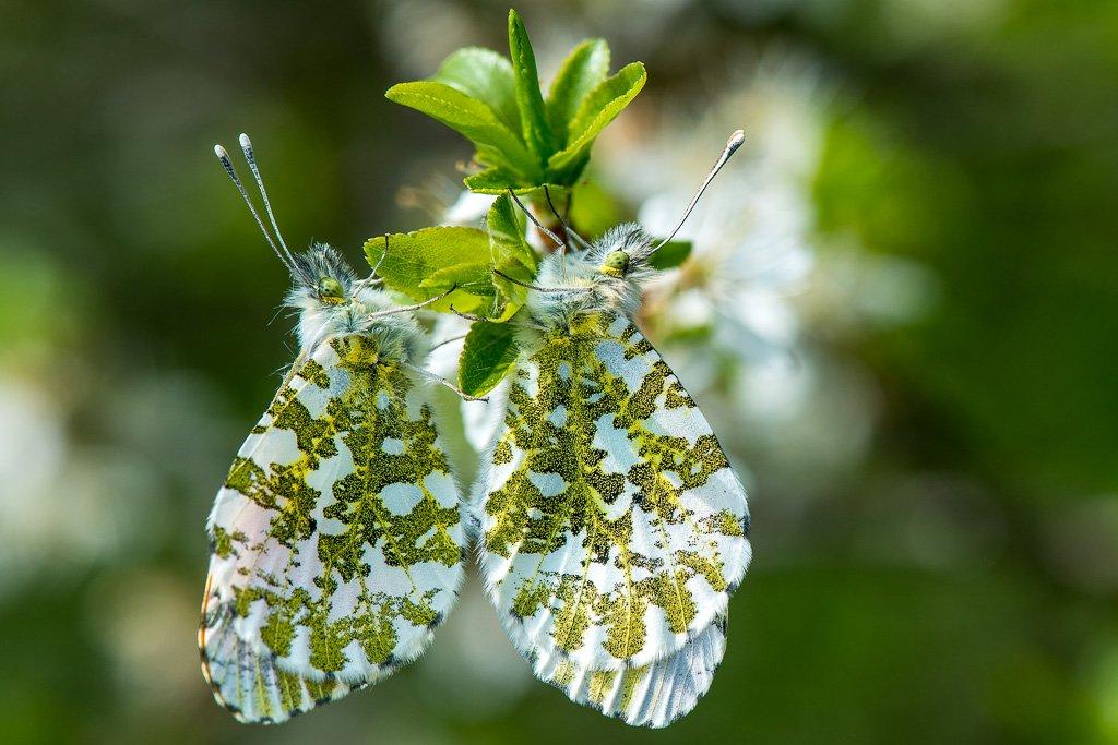 Perfekt getarnt - Schmetterlinge im Biotop Pfungen