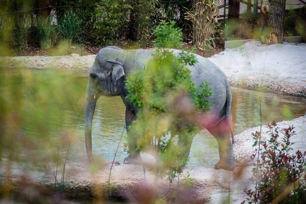 Elefant beim Inspizieren des Pools