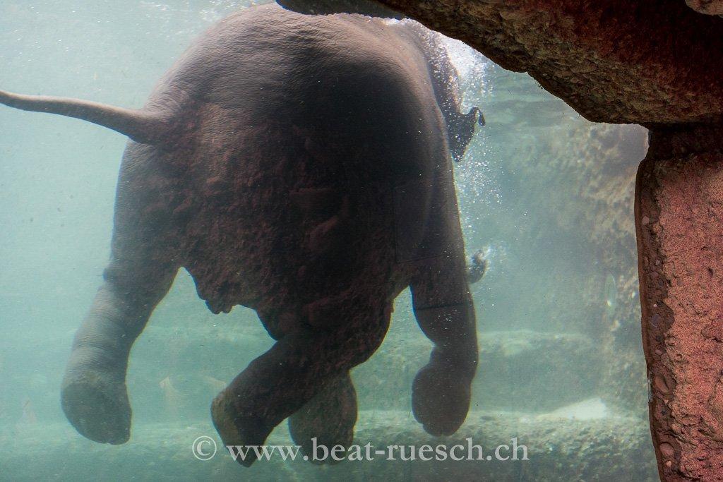 Elefant im Aquarium