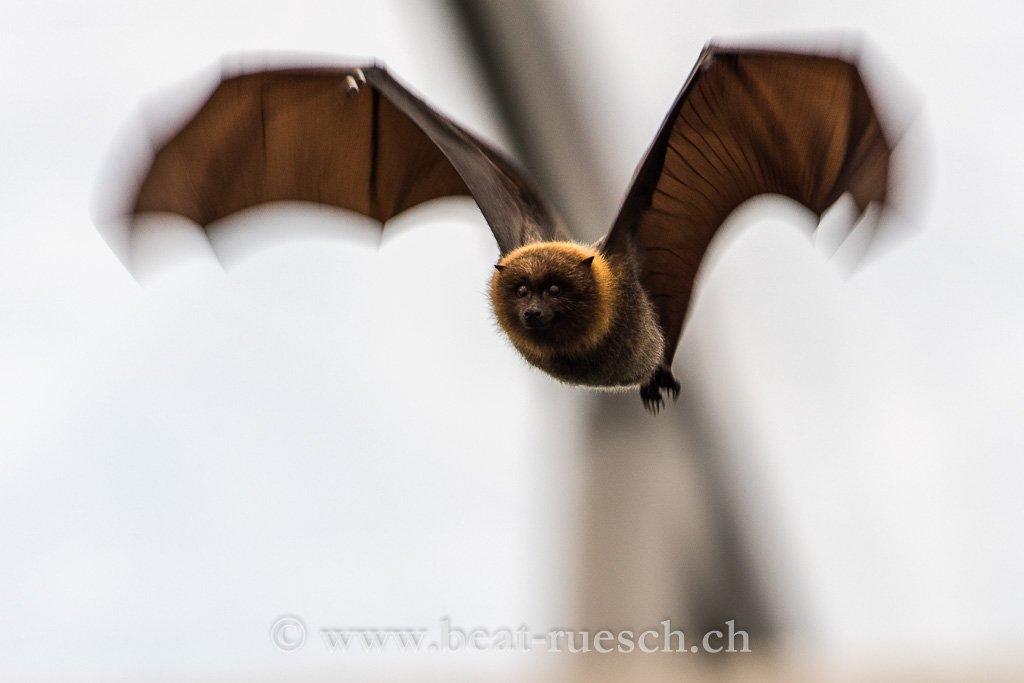 Fliegender Flughund in der Masoala Halle