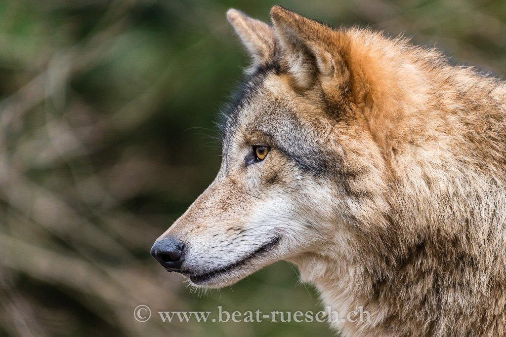 Mongolischer Wolf (Zoo Zürich)