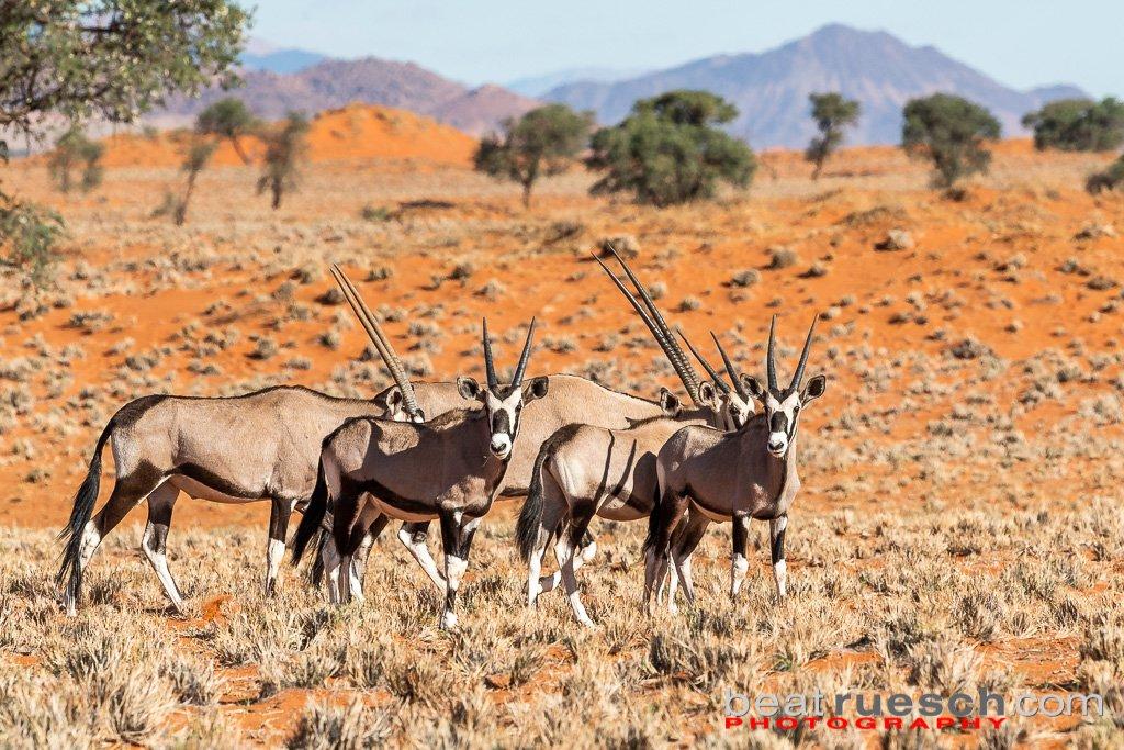 Oryx Familie im NamibRand Naturschutzgebiet