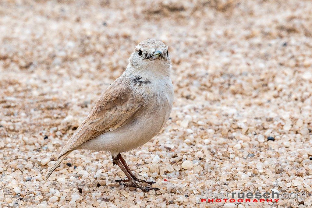 Dünen- oder Namiblerche, gibt es nur in Namibia