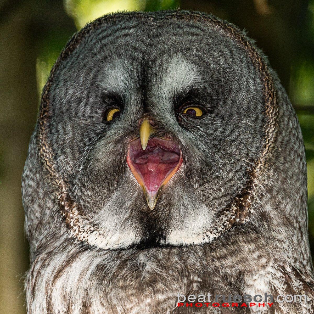 Bartkauz geblitzt - Tierpark Goldau