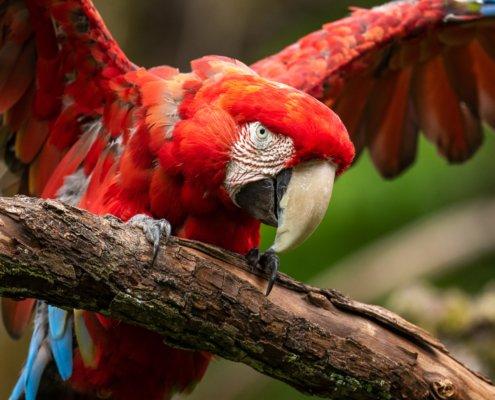 Objektivtest - Grünflügelara im Pantanal (Zoo Zürich)