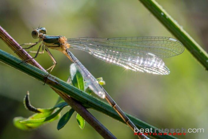 Libelle im Biotop Pfungen