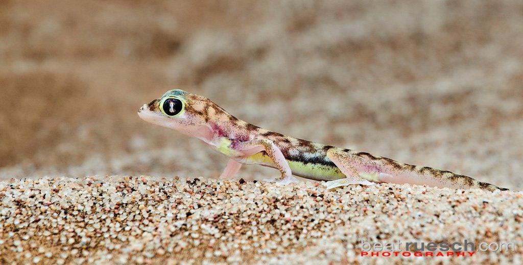 Palmato-- oder Namibgecko, fast durchsichtig ...